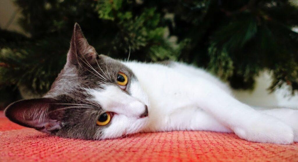 Should Cats Be Kept Indoors Because of Coronavirus